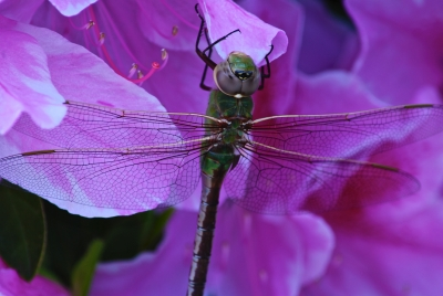 Dragon Fly In Pink