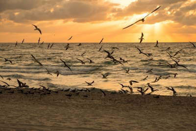 Black Skimmers At Sunrise