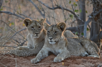 Lion Cubs Await The Return Of Their Mother