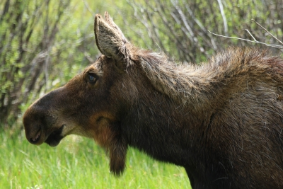 Just A Moose