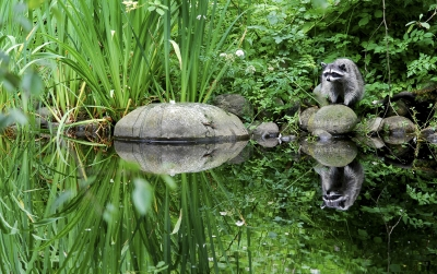 Raccoon Reflection In British Columbia