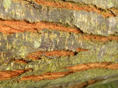 Chinaberry Tree Bark