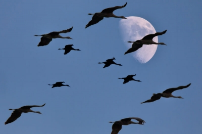 Sandhill Cranes Fly By