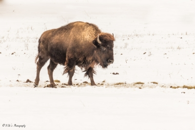 Bison In Action