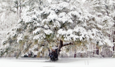 Spanish Moss And Snow Blanket