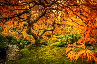 The Flaming Maple