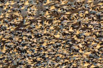 Fall Snow Goose Migration 3