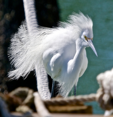 Snowy Egret With Breeding Plumage Blowing In The Wind