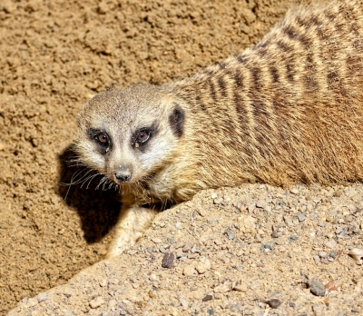 Meerkat Doing What It Loves To Do – Dig!