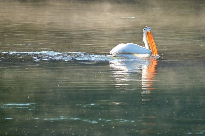 American Pelican, Yellowstone National Park