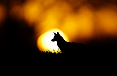 Silhouette Of A Coyote