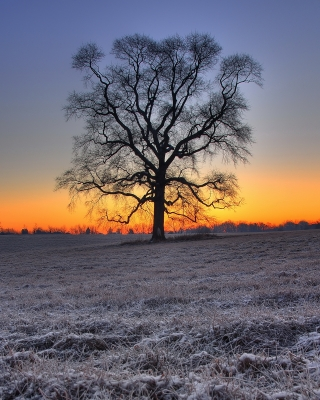 Winter Sunrise Oak