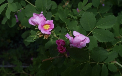 Wild Roses Early In The Morning