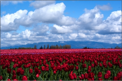 Tulips In The Valley