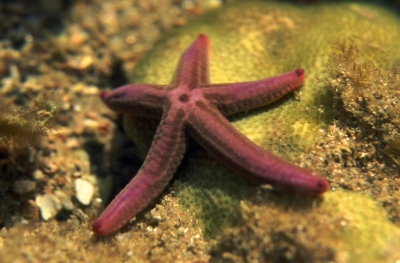 Baja Sea Star