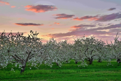 Apple Orchard Sunst 1