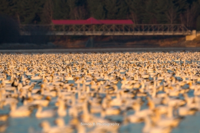 Fall Snow Goose Migration 4