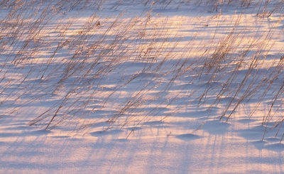 Prairie Grass In Snow