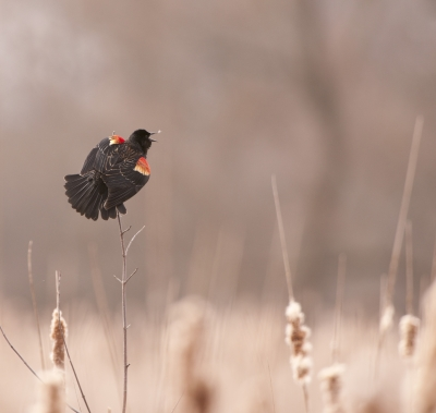 Animated Red-winged Blackbird