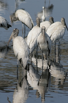 Wood Storks Taking A Rest In Migration