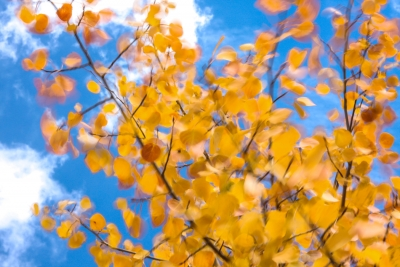 Golden Aspen Leaves Blowing Against Blue Sky