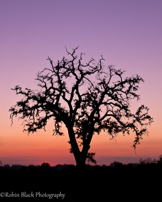 Portrait Of A Dying Oak, Sierra Foothills