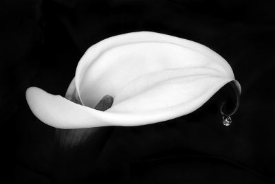 Early Morning Calla