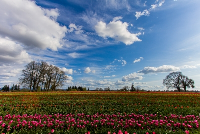 Tulips At Bloom