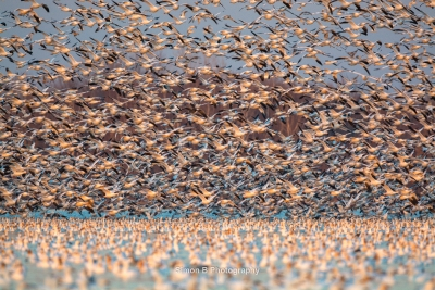 Fall Snow Goose Migration 5