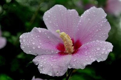 The Rose Of Sharon