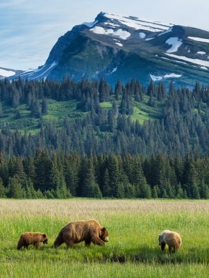 Brown Bears And Slope Mountain