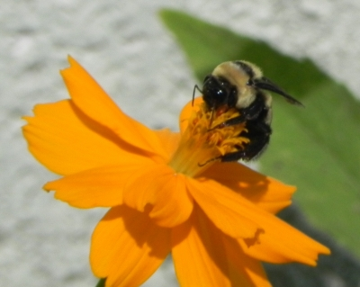 Hungry Bumblebee