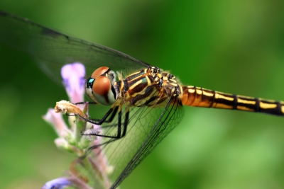 D Like Dragonfly