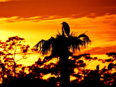 Herons Vigilant For Eagles At Sunset.