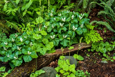 Trail Side Trilliums