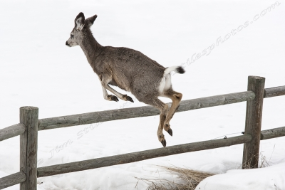 Black Tail Deer Over The Fence