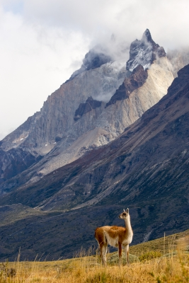 A Guanaco Surveys The Massif