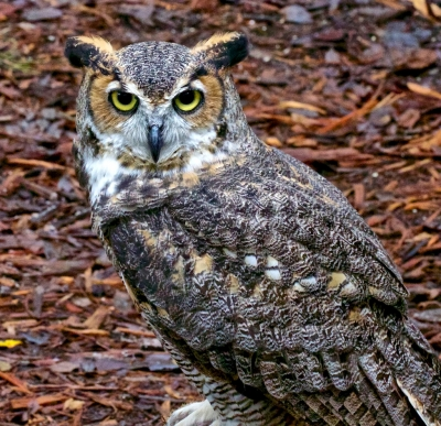 Great Horned Owl Encounter