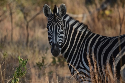 A Zebra Poses For The Camera