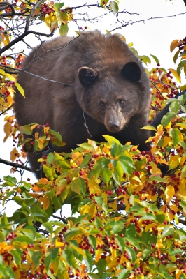 "Cinnamon ""black"" Bear High In A Crabapple Tree"
