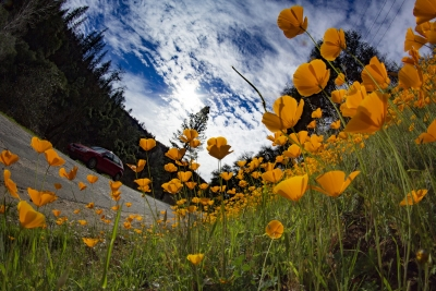 After The Butte Fire – Poppies Along The Mokelumne River Canyon