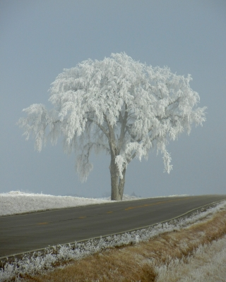"Frost On ""the Big Tree"""