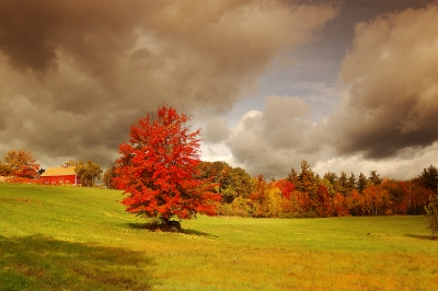 Lone Red Tree
