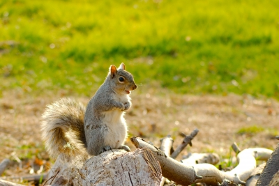 Chattering Squirrel