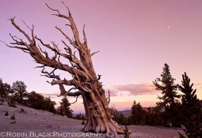 Ancient Bristlecone Pine Sunset