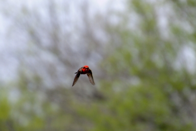 Vermillion Flycatcher In Flight