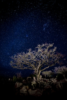 Ghost Tree And The Constellation Orion