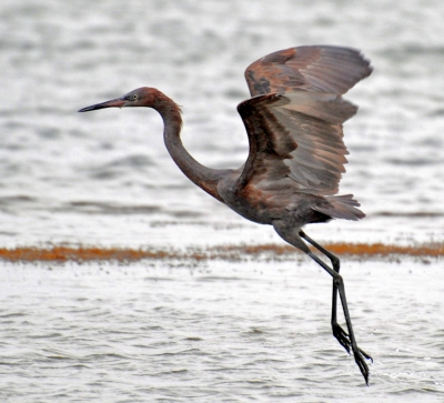 Reddish Egret In Fligh