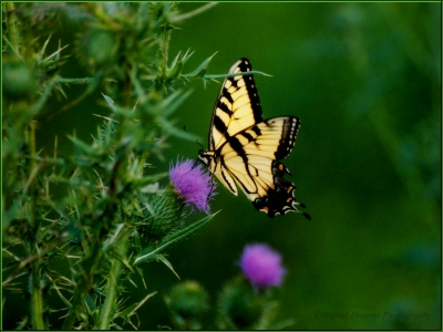 Butterfly And The Thisle Bush