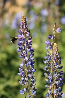 Giant Bees Around Lupin